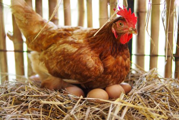 Tecnologo alimentare blog allevamenti uova